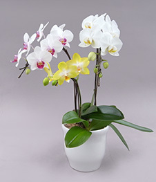 Phal_3f_Sally_7000_web.jpg
