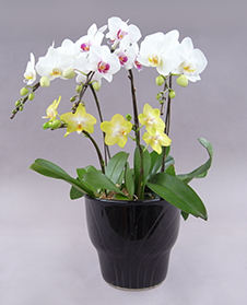 Phal_5f_Betty_11000_web.jpg