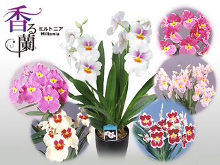 column_mothersday_miltonia_20160415.jpg